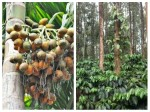Arecanut Coffee Pepper Rubber Price On 25 August