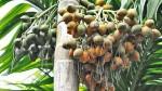 Arecanut Coffee Pepper Rubber Price In Karnataka Today 03 September