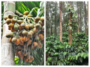 Arecanut Coffee Pepper Rubber Price On 5 August